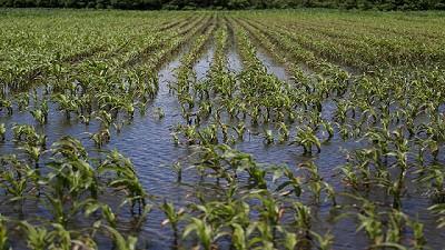 100 mil ha afuera del maíz de primera por las lluvias