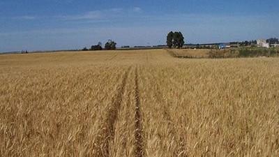Por fin le llego la revancha al trigo, por Catalina Ferrari