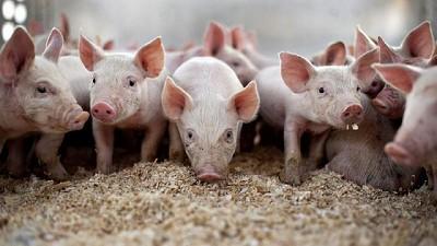 La FAO alerta de una posible propagación de la peste porcina desde China