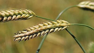 Crece 8% la superficie sembrada de cebada en la Provincia de Buenos Aires