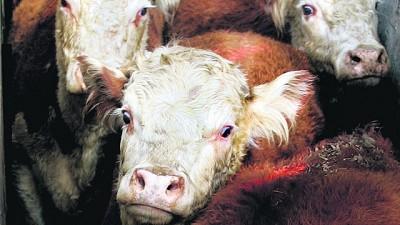 """Menor cotización del ganado gordo """"es normal para la época del año"""""""