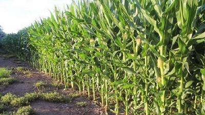 Buenas condiciones climáticas permiten avanzar con la siembra de los últimos lotes de maíz