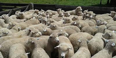 Otros 1.000 corderos se faenarán esta semana para EE.UU.