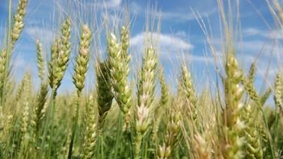 Comenzó la siembra de trigo 2019/20