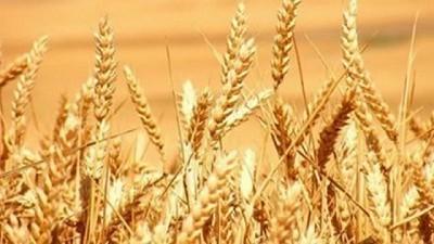 La siembra triguera se congela en el 65% con un inquietante final