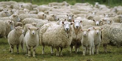 """El ovino puede """"superar"""" las actuales """"restricciones"""""""