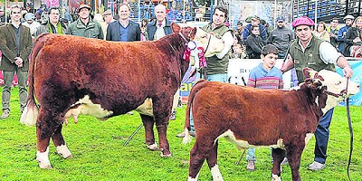 Hereford: en la Expo Prado ganaron vacas productivas
