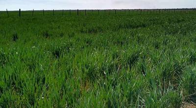 Las lluvias mejoran las condiciones de los cultivos de invierno