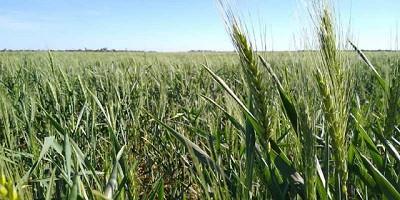 La fertilización, clave para ayudar al trigo a enfrentar el estrés