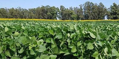 Se trillaron 1,3 M de ha de soja de primera con un promedio de 39,7 qq/ha