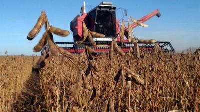 La soja culminó su desarrollo fenológico mientras el maíz aún registra lotes llenando grano