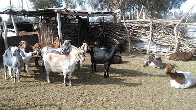 Con vacunación, Mendoza bajó casi un 70 % la prevalencia de brucelosis en cabras