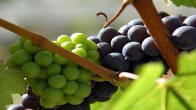 Argentina en el podio de los países que más crecieron en la exportación de pasas de uva