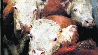 Industrias faenaron 39.064 animales, un 14,1% menos, en la última semana