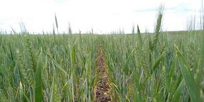 Faltan sembrar 700 mil ha con trigo y el clima alarga el suspenso