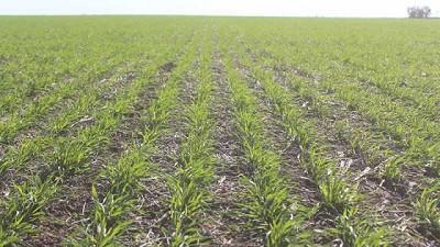Córdoba: peligran más de 500.000 hectáreas de trigo y garbanzo a causa de la sequía