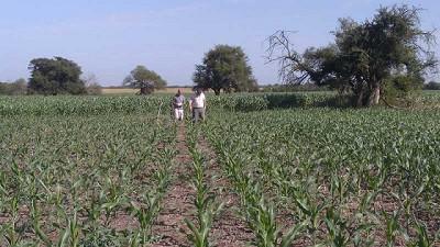 Evalúan estrategias para multiplicar los rindes en híbridos de maíz