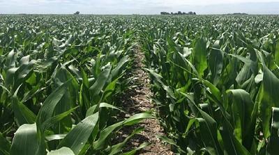 Lluvias registradas en el centro y sur del área agrícola impulsan la siembra de maíz y girasol