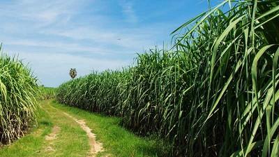 Mayor rentabilidad en azúcar a partir del correcto uso de los recursos