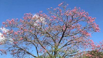 Los árboles porteños modificaron su ciclo biológico por el cambio climático