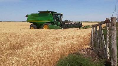 Rindes por encima a lo esperado en el sur del área agrícola elevan la producción de trigo a 17 MTn