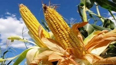 A dos meses de cerrar la campaña, había casi 10 Mt de maíz en stock