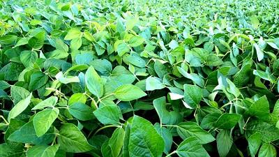 La importancia de las enfermedades en el cultivo de soja