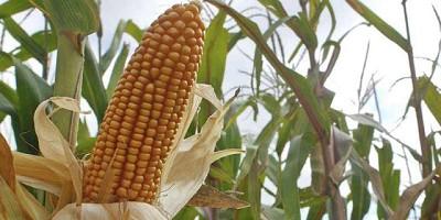 Aumentando la cantidad de granos de ma�z con CRISPR