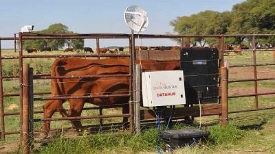 El INTA pone a punto una balanza inteligente para vacas