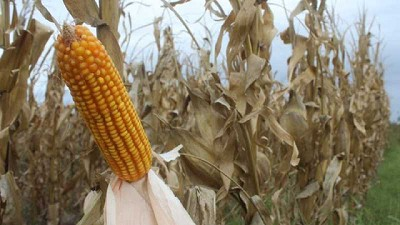 El maíz alcanzaría la barrera de los 50 Mt y la soja se mantiene en 45 Mt