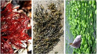 Lo que las algas marinas pueden hacer por tu cultivo