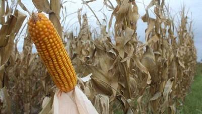 Se vende el maíz, se guarda la soja, por Lorena D´Angelo