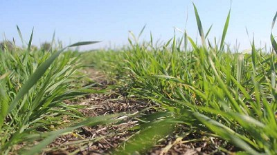Con un 3% más de siembra, el trigo argentino va por una cosecha récord de 20 Mt