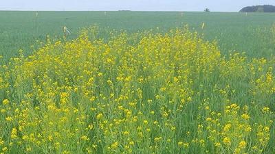 Cerca de la siembra de trigo, el control de malezas con un modo de acción novedoso para el cultivo