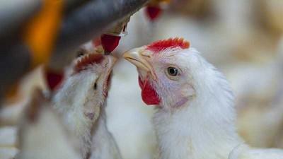 Nutrición en avicultura