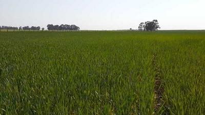 Manejo integrado de enfermedades (MIE) en el cultivo de trigo
