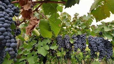 Una biosolución que potencia la producción de los viñedos
