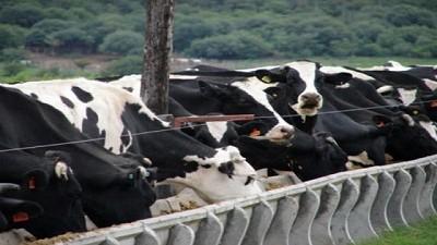 ¿Cómo podemos mejorar la producción de leche manejando el ambiente alimentario de las vacas?
