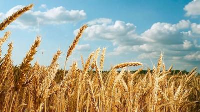 Estrategias para optimizar el cultivo del trigo