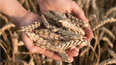 Trigo, entre los cultivos más exigentes y demandantes de nutrientes