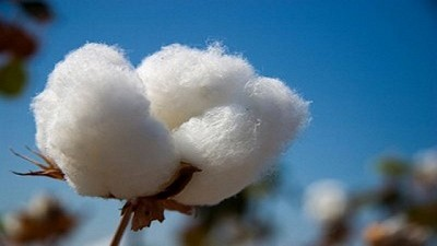 Controles a la destrucción de rastrojos del algodón en la provincia de Chaco