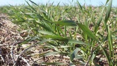 Condiciones favorables agilizan la implantación de cereales de invierno