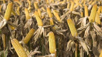 Agricultura estima una cosecha histórica que superará los 62 millones de toneladas de maíz y sorgo