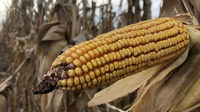 La producción de maíz de Estados Unidos es mayor a lo esperado