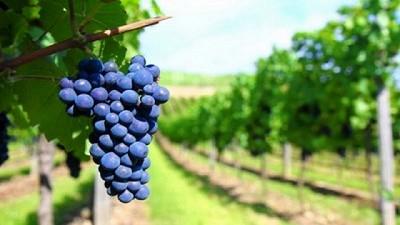 Vitivinicultura Sostenible 4.0 para aumentar la competitividad en productores de San Rafael