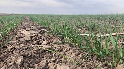 Las lluvias apuntalan al trigo: la región sigue camino al record de 7 Mt