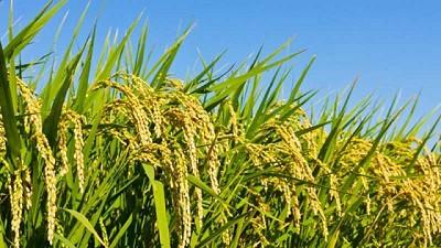 Evolución de la producción de arroz en argentina