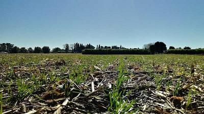Con siembra finalizada en Córdoba, trigo y garbanzo desmejoran en su estado