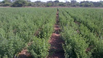 La alfalfa Salinera INTA ya está disponible