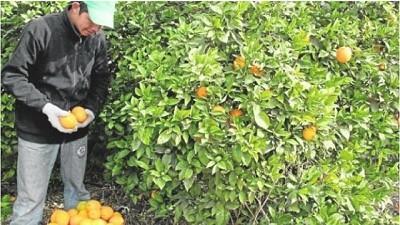 Los productores de cítricos están obligados a contratar en negro o a perder su producción